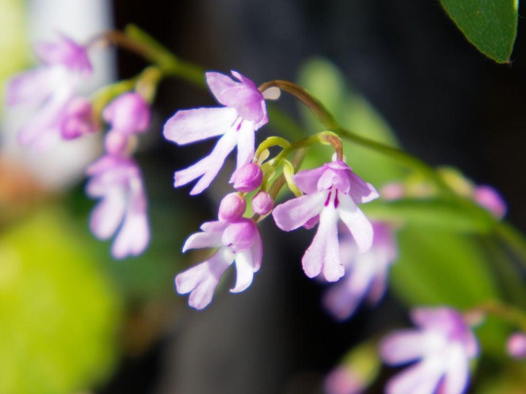 エノモトチドリ・紫宝