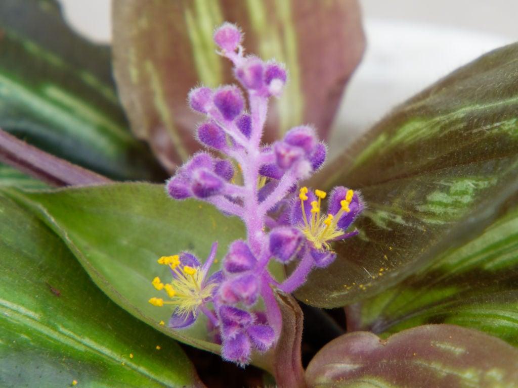 スパソリリオンの花