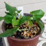 コビトハンゲの鉢植え