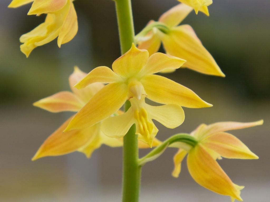 九州産エビネ1の花