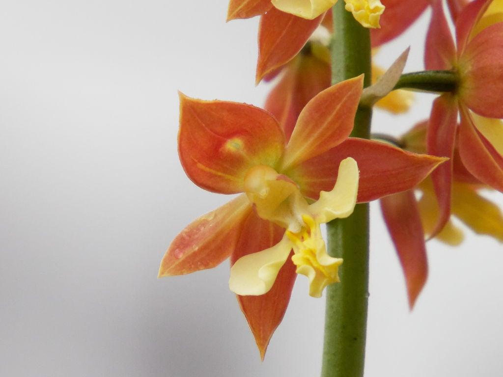 九州産エビネ2の花