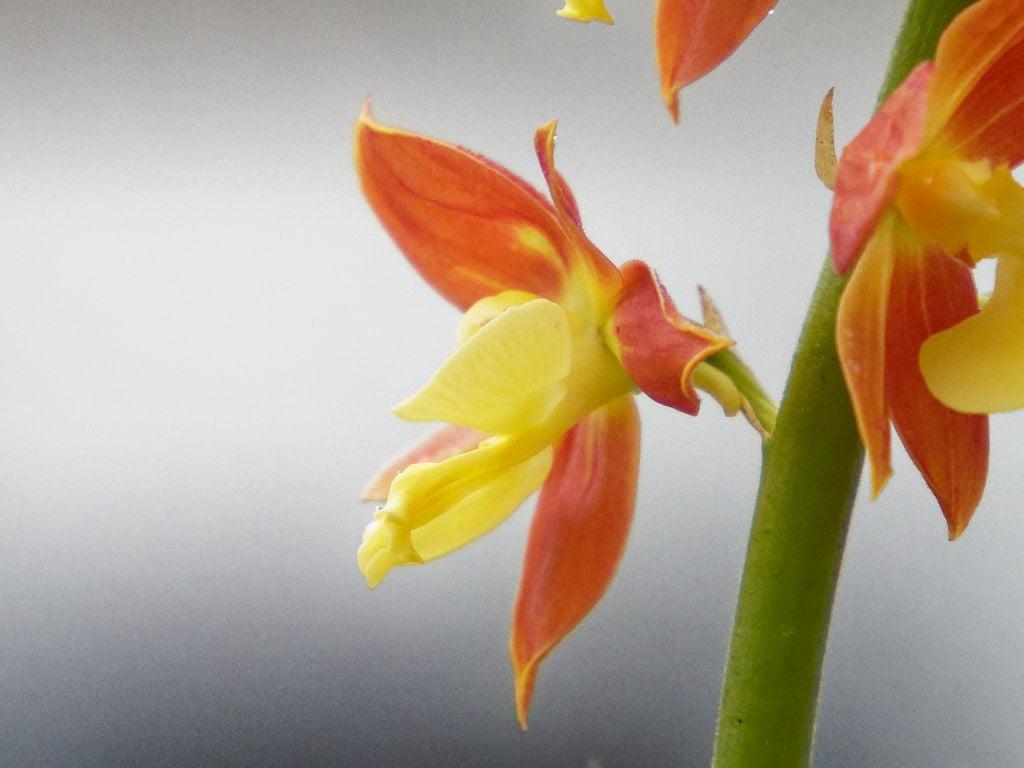 九州産エビネ2の花横