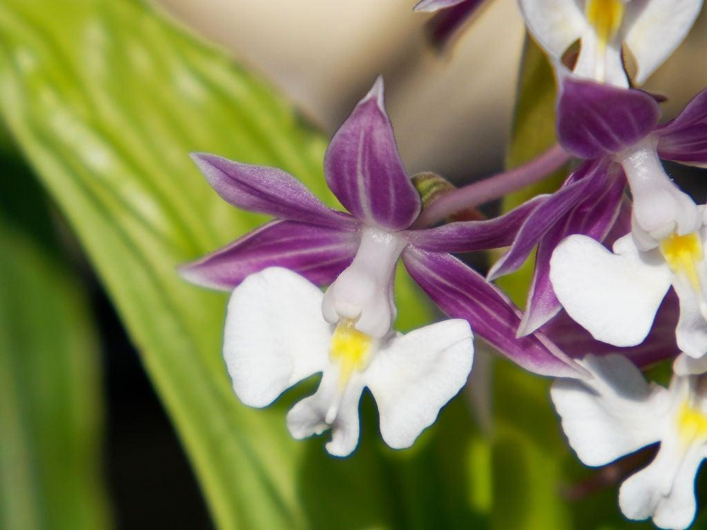 ニオイエビネ「御代の旗」の花