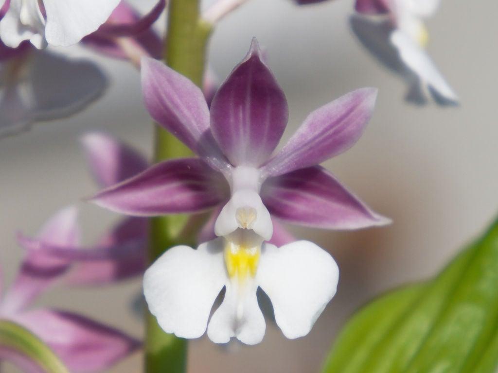 ニオイエビネ「紫聖殿」の花