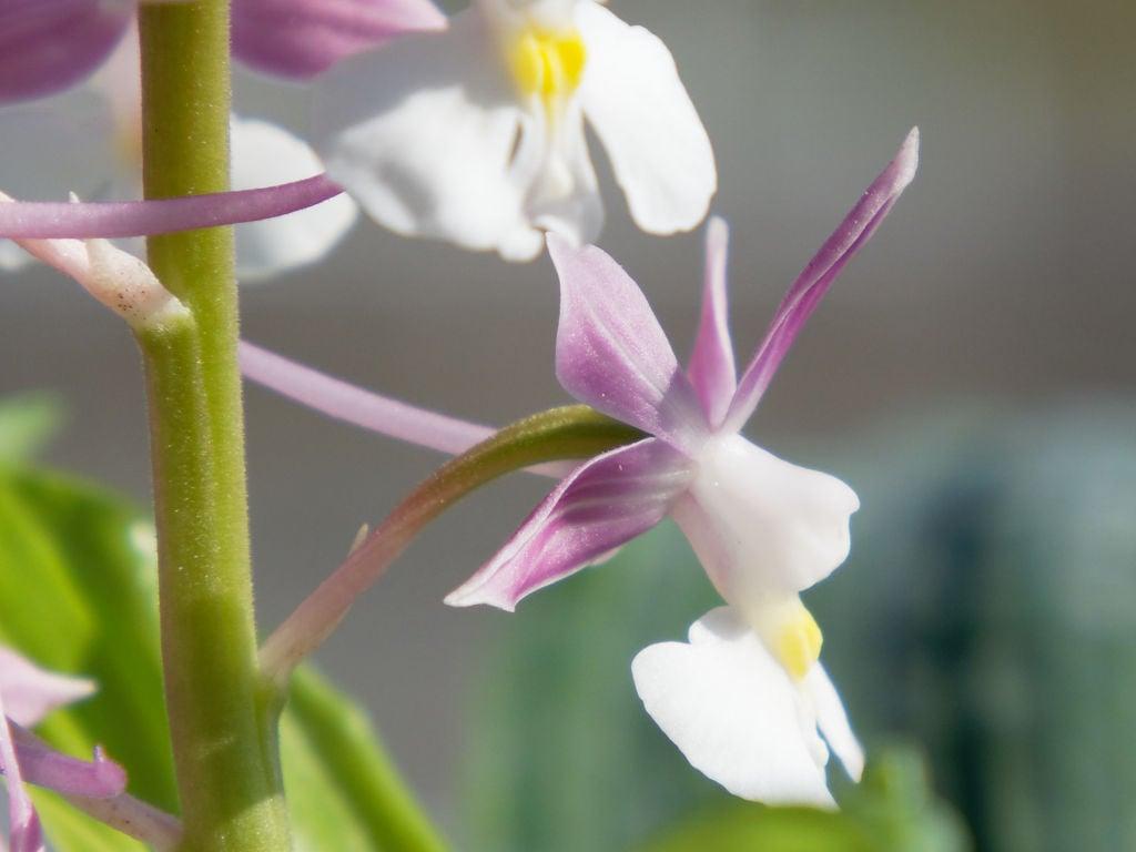 ニオイエビネ「紫聖殿」の花横