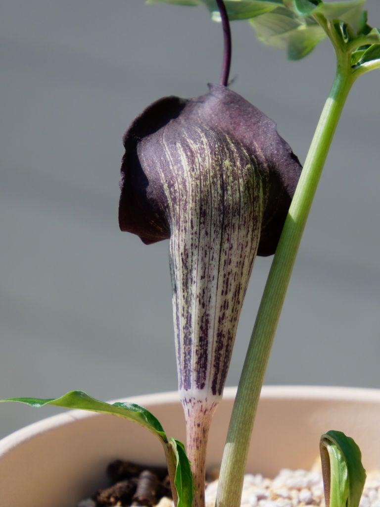 竜飛岬産ウラシマソウの花、背側