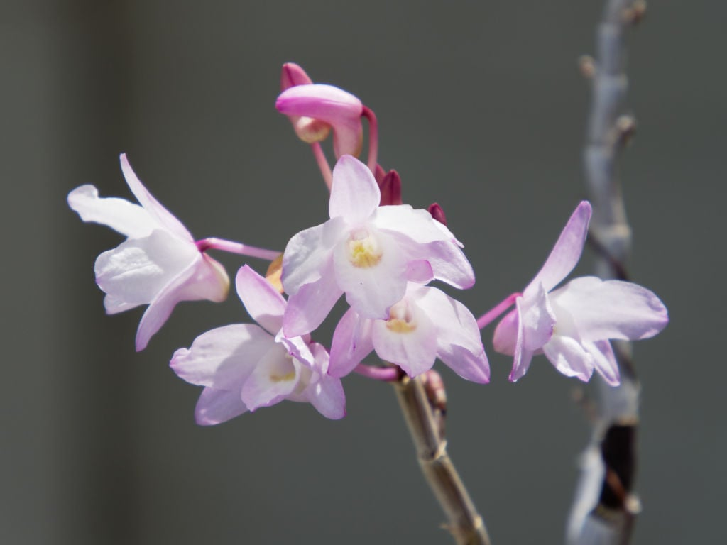 セッコク「紫金剛」の花