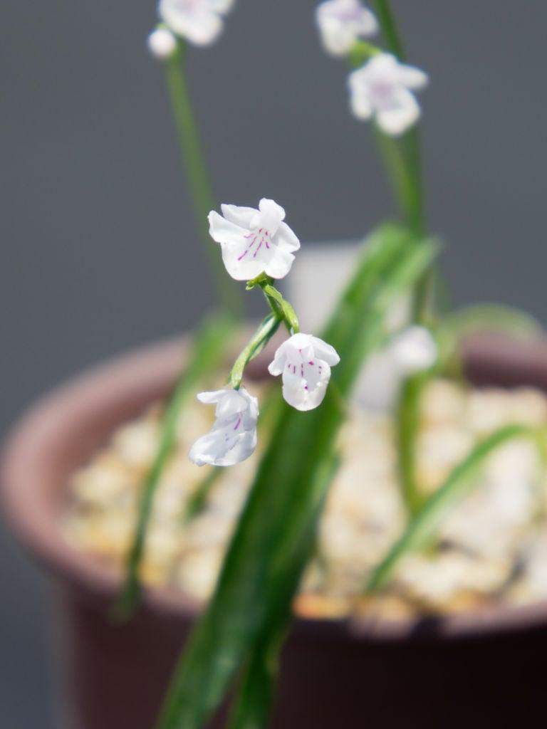 コアニチドリ布袋咲き
