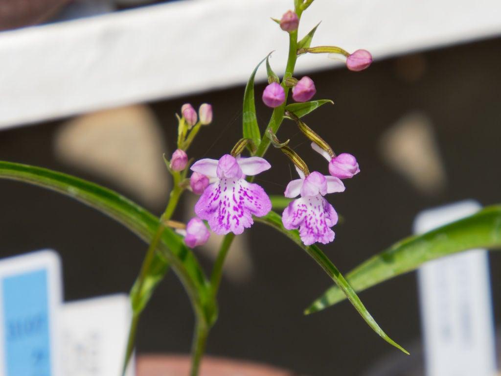クロカミラン・斑紋花