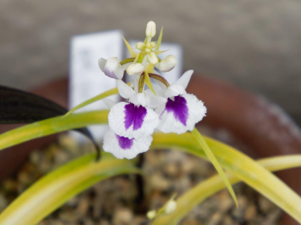 羽蝶蘭・黄金葉白紫点連舌