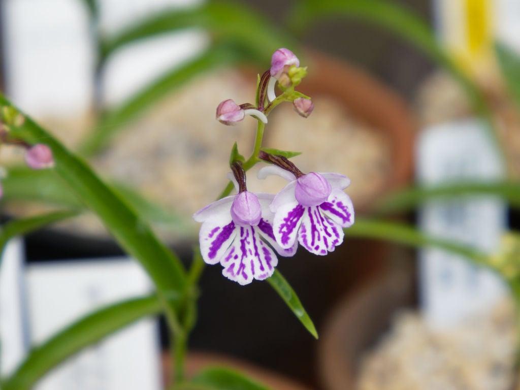 サツマチドリ斑紋花