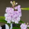 サツマチドリ・白地斑紋花7709