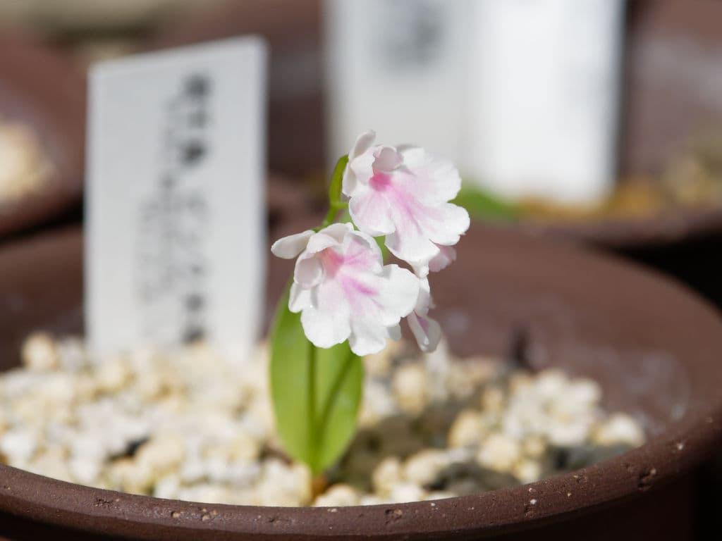 岩千鳥・ピンク花