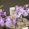 クロシオチドリ・白地斑紋花